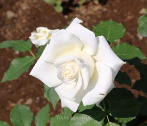 ブライダルホワイトはアイボリーホワイトの可憐なバラ