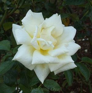 キャロリーヌドゥモナコは四季咲き性です