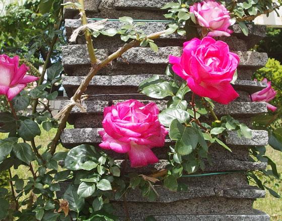 つるローズゴジャールはつるバラです