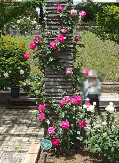 つるローズゴジャールはローズピンク色のバラ