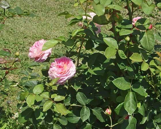 クロードモネはピンク色で絞りが入る