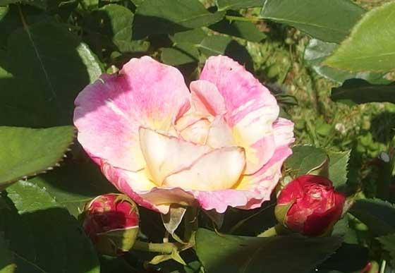 クロードモネはロゼット咲きのバラ