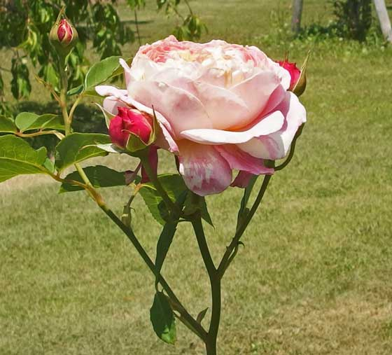 クロードモネは中輪サイズのバラ