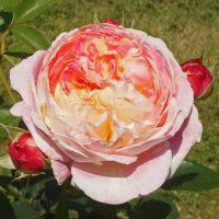 クロードモネはシュラブ系統のバラ