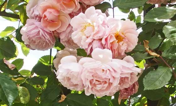 コーネリアはピンク色のバラ