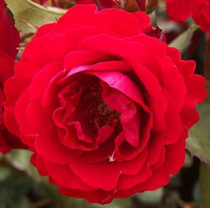 ユーロピアーナはフロリバンダ系統の赤色バラ