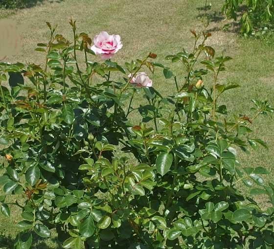 アイコニックハニーレモネードは杏ピンク色のバラ