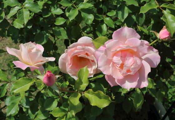 ファーストキスは丸弁平咲きです