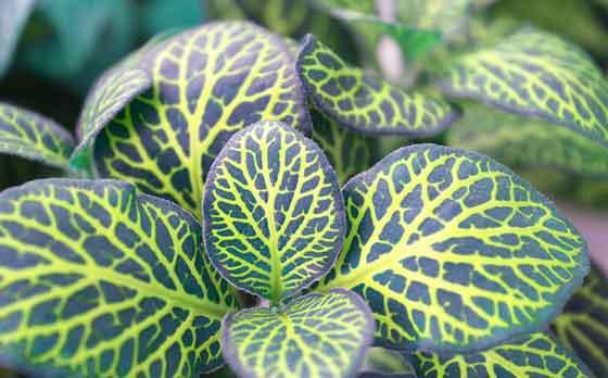 フィットニアは観葉植物です