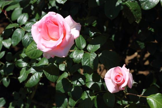 フラミンゴはピンク色のバラです