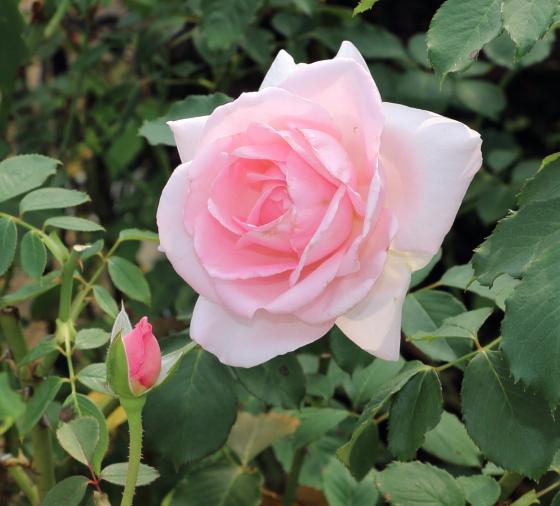 フレグラントヒルは四季咲き性です