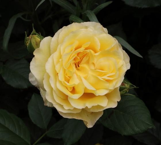 フランスアンフォは黄色のバラ