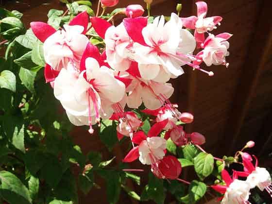フクシアは開花期が長い花