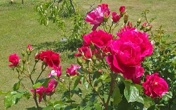 ギーサヴォアは丸弁平咲きのバラ