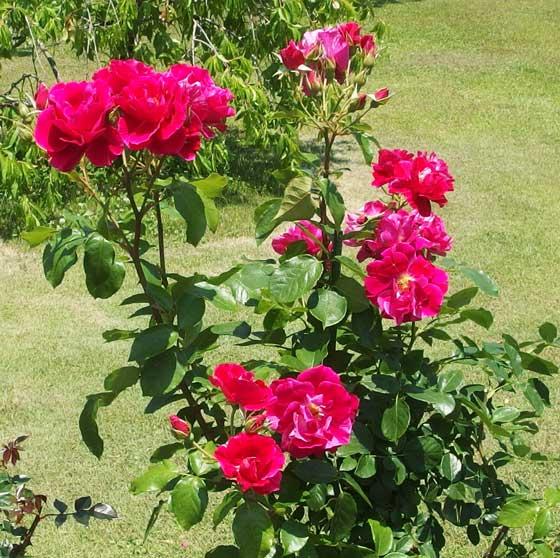 ギーサヴォアは四季咲きです