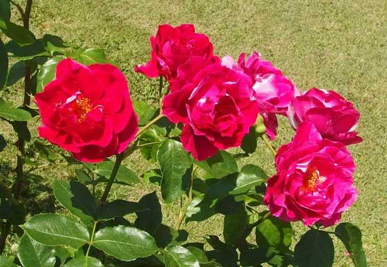 ギーサヴォアは赤色のバラ