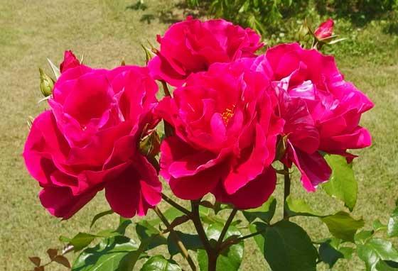 ギーサヴォアは中輪サイズのバラ