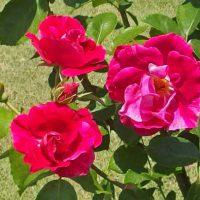 ギーサヴォアはシュラブ系統のバラ
