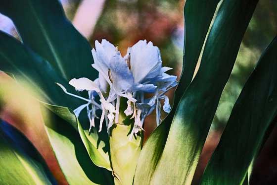 ジンジャーリリーは熱帯植物です