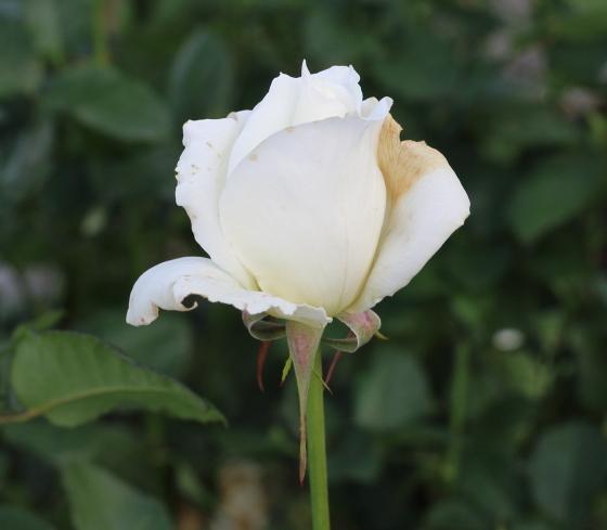 オーナーは白色のバラです