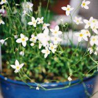 ヒナソウは寒さに強い草花です