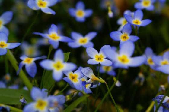 ヒナソウは春に咲く花です