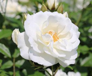 アイスバーグは花もちのよいバラです