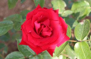 イングリッドバーグマンは半剣弁高芯咲きの赤色バラ