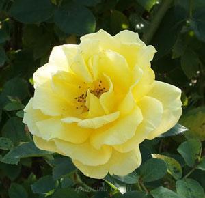 伊豆の踊り子は遅咲きのバラ