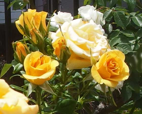 ジュリアチャイルドは黄色いバラ