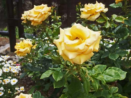 ジュリアチャイルドはフロリバンダ系統のバラ