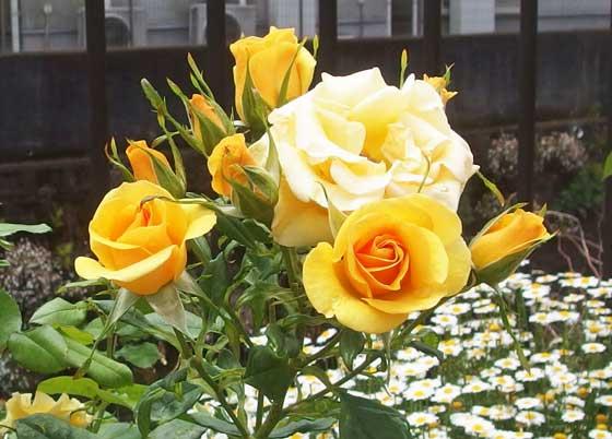 ジュリアチャイルドは中輪サイズのバラ