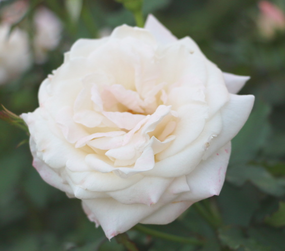 ジューンブライドは白バラです