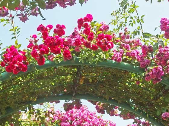 花菜ガーデンの春バラが咲く風景