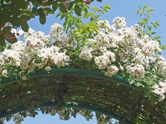 白いつるバラがアーチに誘引されている