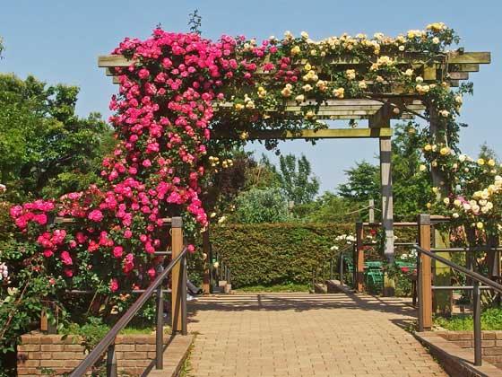 花菜ガーデンのつるバラが見事です