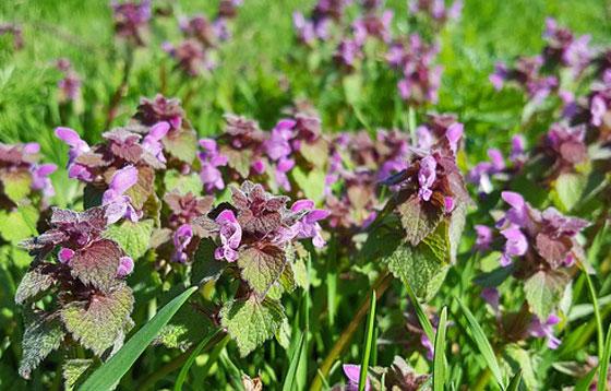 ラミウムは草花です