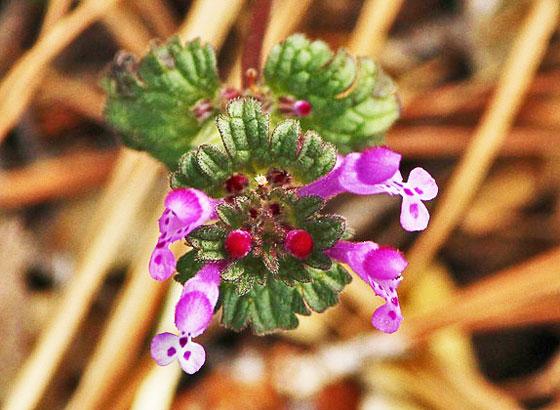ラミウムは5月に咲く花