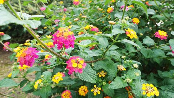 ランタナは鉢栽培に人気がある