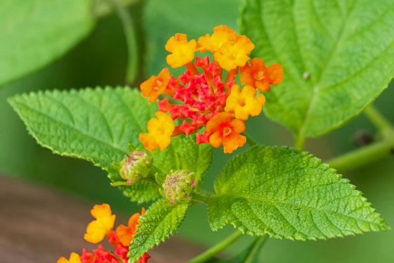ランタナは春から秋まで開花する