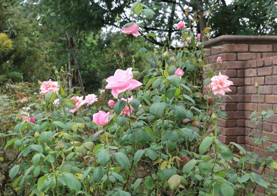 ピンク色で大輪サイズのバラ