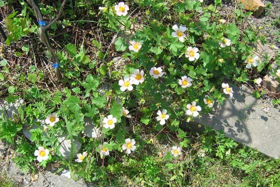 マルバストラムは5~7月に開花する