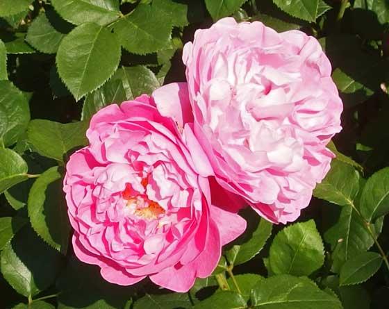 メアリーローズは大輪咲きです