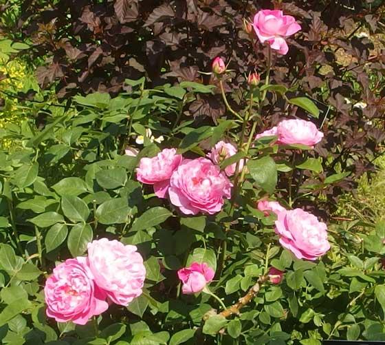 メアリーローズは四季咲きです