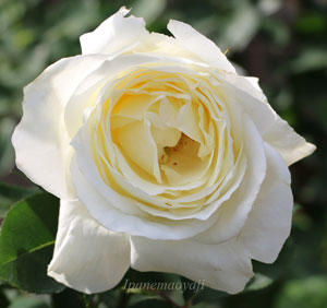 正雪は白色のバラです