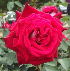 オジリアは赤色のバラ