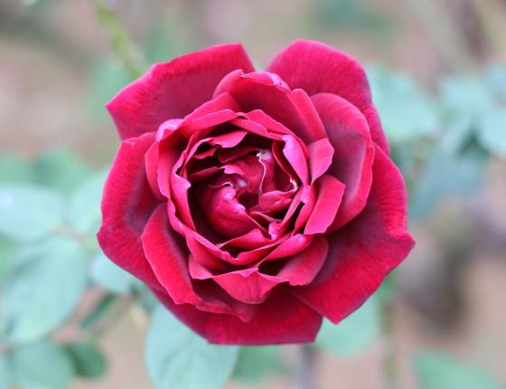 パパメイアンは黒赤色のバラ