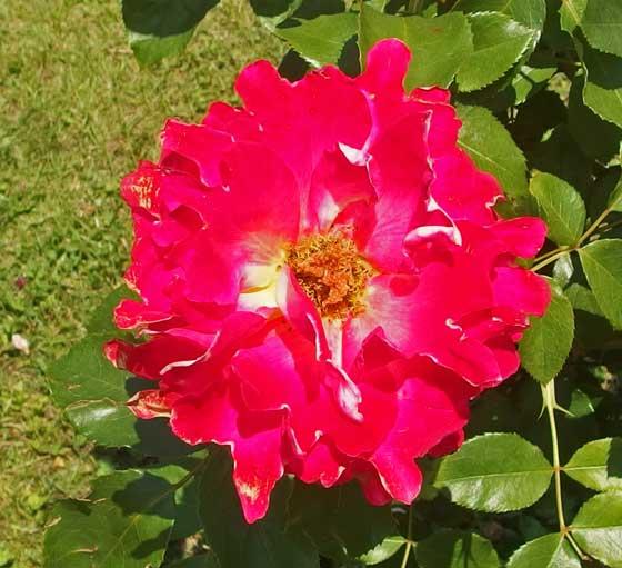 ピンクレディラッフルは朱色のバラ