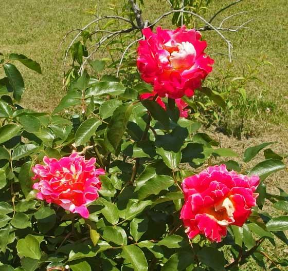 ピンクレディラッフルはハイブリッドティー系統のバラ