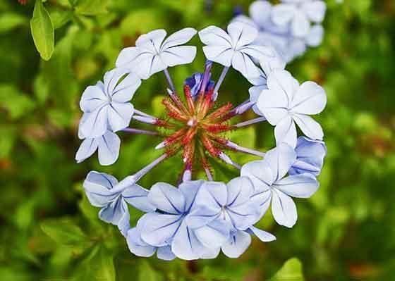 プルンバゴは青色の花